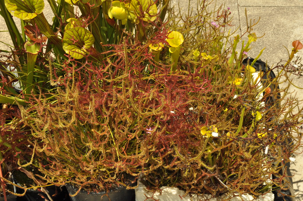 Drosera binata, two forms