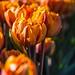 2015 Winter Tulip #3 by Yorkey&Rin