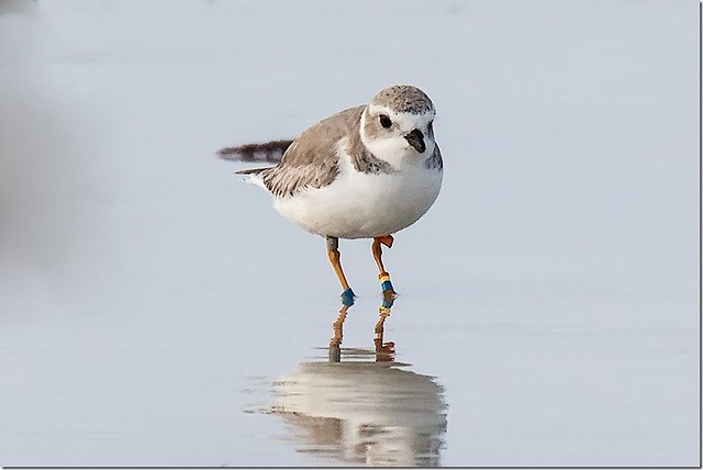 Banded  Piping Plover - 2