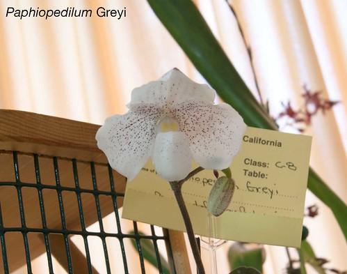 Paphiopedilum Greyi