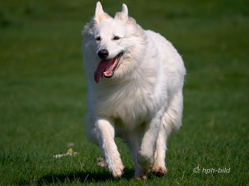 white shepherd dog running 4