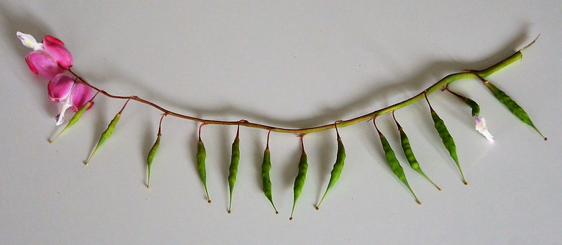 Bleeding Heart Seed pods 24.05 (1)