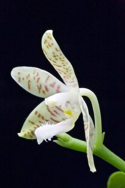 Phalaenopsis alensica 15375187764_5e0d24bf3a_z