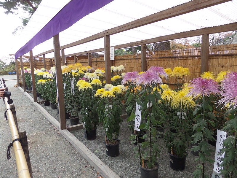 chrysanthemum competition