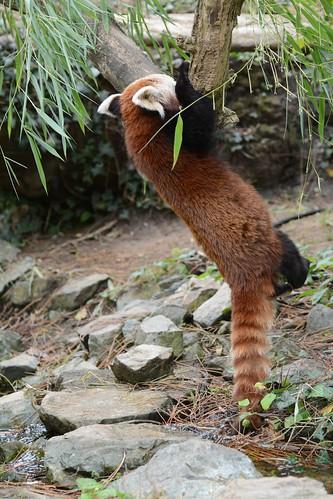 Kleiner Panda im Zoo de La Flèche