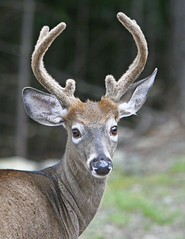 Tomhegan-deer-47