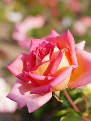 Rose, Kasuya No Sato, バラ, かすやの里,