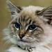 Pangurs the cat