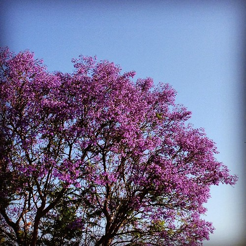 Jacaranda watch: first day of summer.
