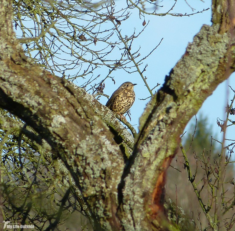 P1100384 -Song Thrush, Lower Brockhampton