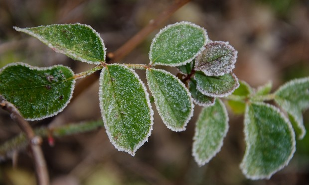 Frosty leaved