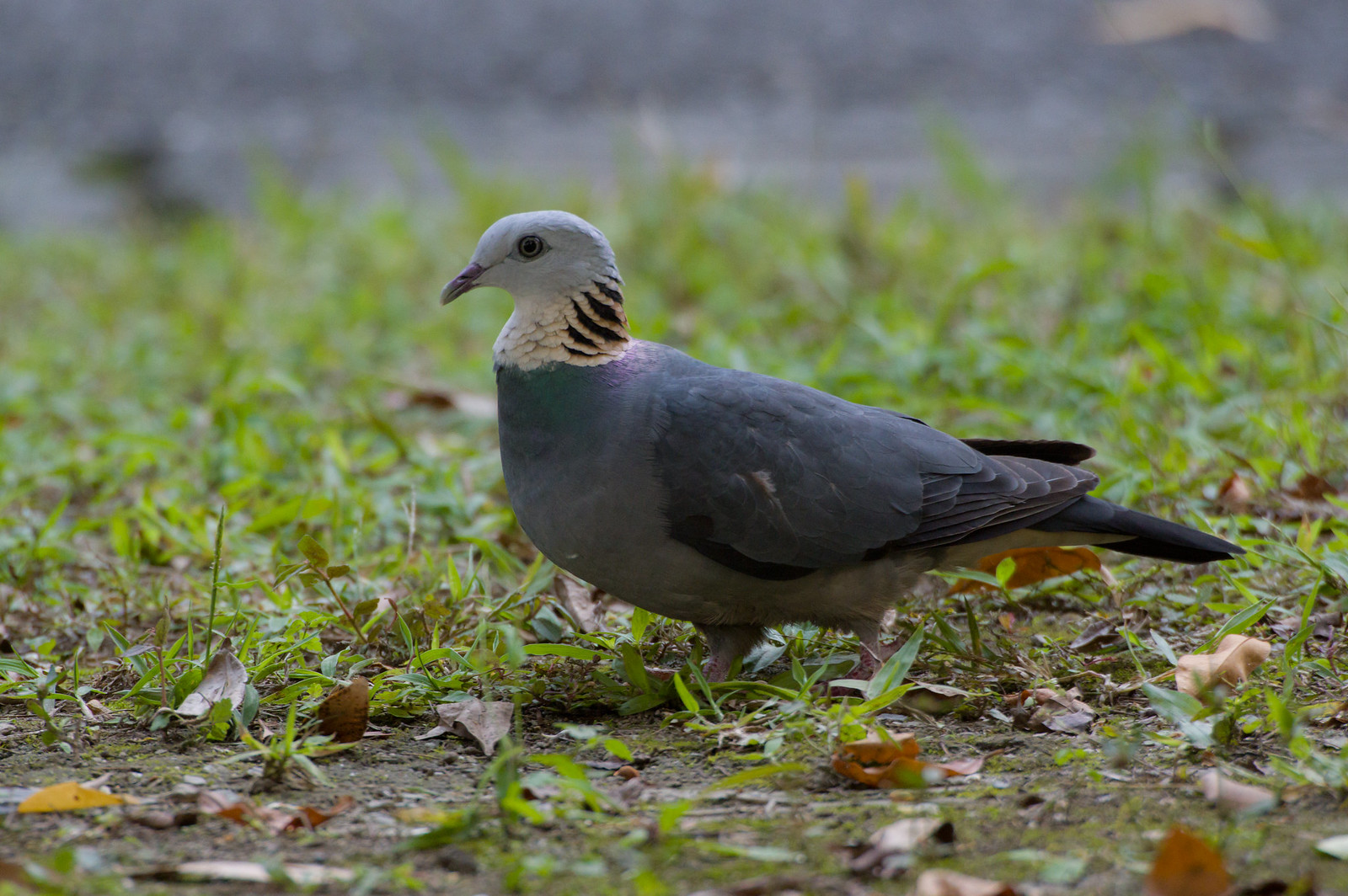 布洛灣灰林鴿