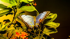 pollinator, animal, moths and butterflies, butterfly, flower, leaf, yellow, nature, invertebrate, macro photography, flora, fauna, close-up,