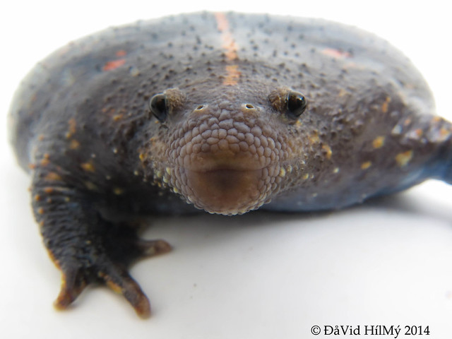 Mexican Burrowing Toad (Rhinophrynus dorsalis)