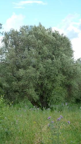 Olivenbaum (4496)