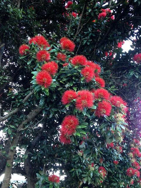 Pohutukawa blossoms
