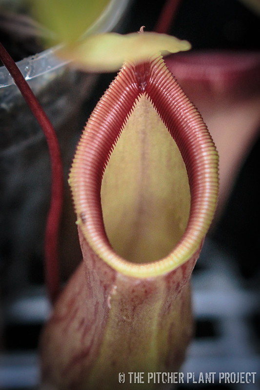 "Nepenthes ""Enigma"""