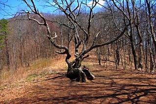 Appalachian Trail Sitting Tree