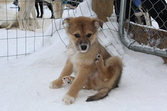 dog breed, animal, akita inu, puppy, akita, dog, snow, pet, shikoku, mammal, greenland dog, finnish spitz, korean jindo dog, norwegian lundehund, animal shelter,