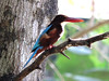 Kerala Nature_ King Fisher