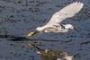Snowy Egret 012016c copy
