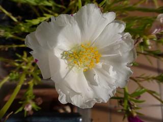 White purslane