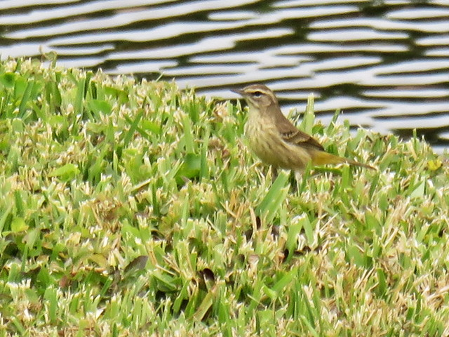 Palm Warbler 70 ft Powershot 30x optical zoom 20141221