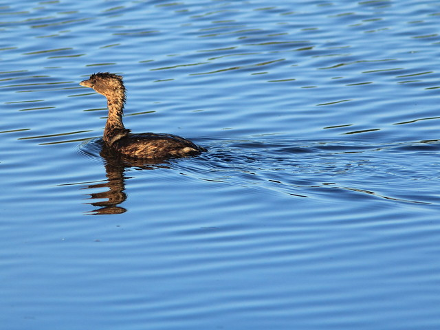 Pied-billed Grebe 20141026