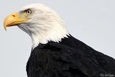 Bald Eagles - 2014