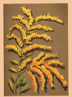 Goldenrod chromolithograph