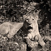 lioness in black and white