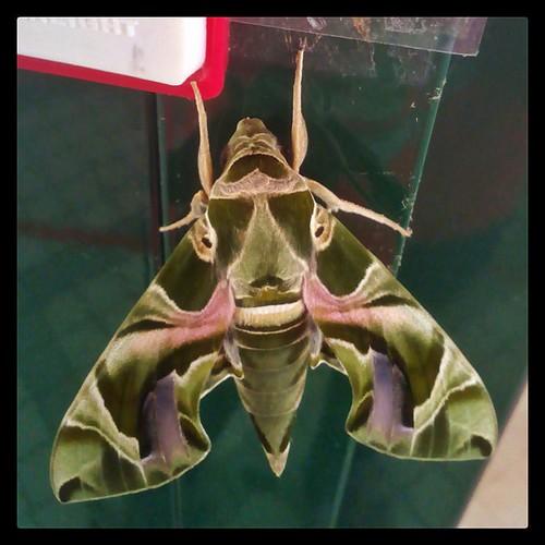 Hello! #insect #moth #caotun #nantou #taiwan
