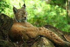 animal, big cats, small to medium-sized cats, mammal, lynx, fauna, wild cat, bobcat, wildlife,