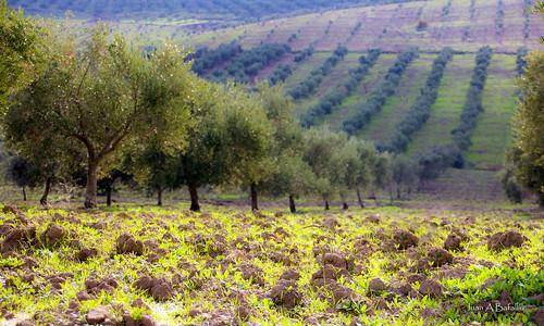 Tierra, hierba y olivos