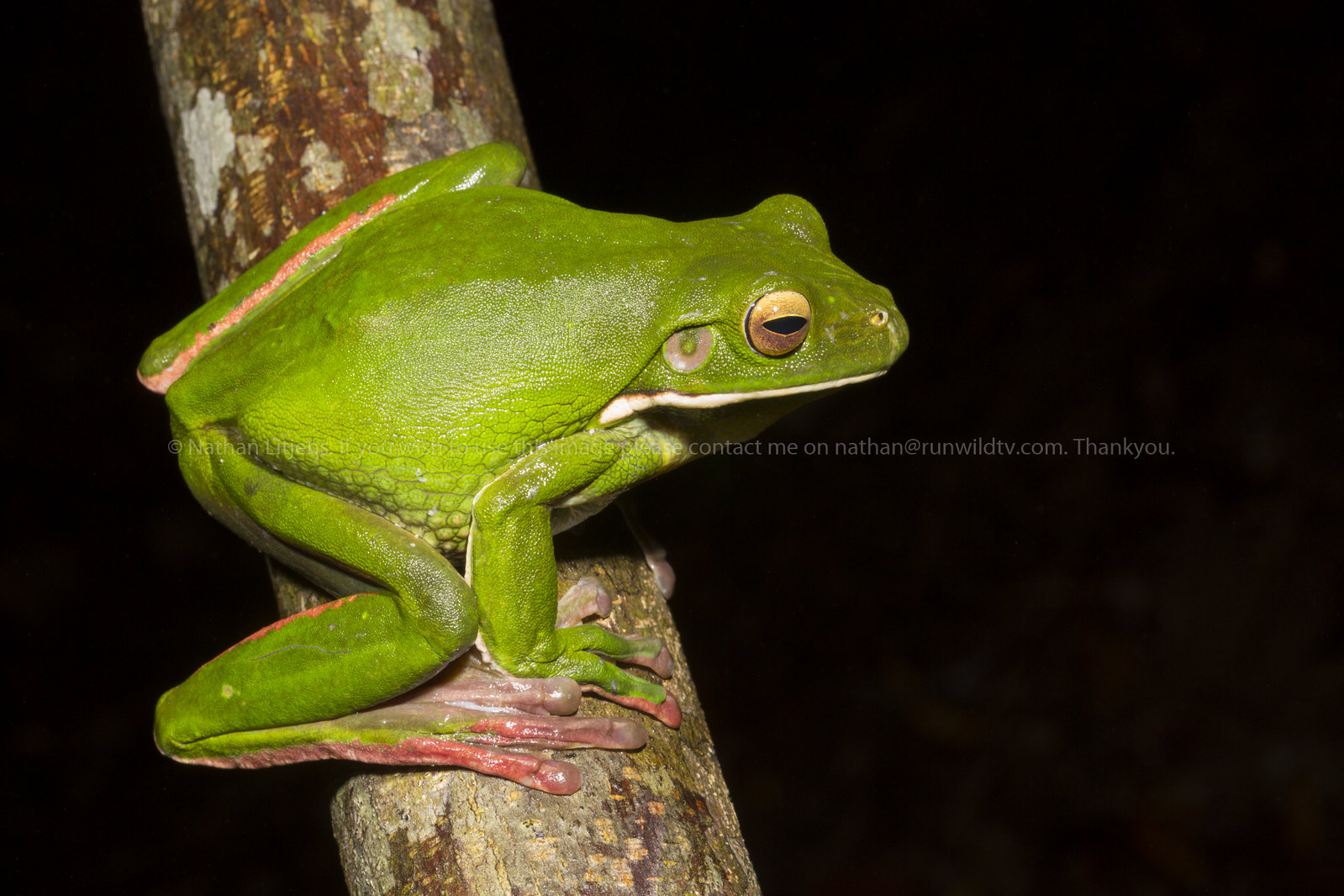Giant [White Lipped] tree frog (Litoria infrafrenata)