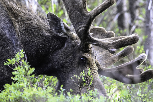 2016 6 17 - Brainard Bull Moose - 9S3A9978