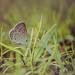 Lycaenidae Butterfly 2