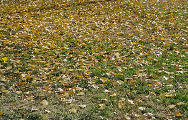 Carpet of Cottonwood Leaves