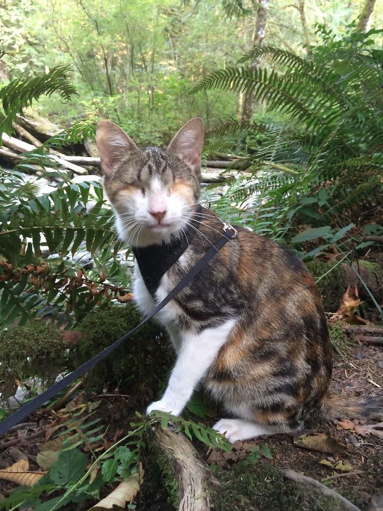 HoneyBee - cô mèo mù thích được dắt đi dạo