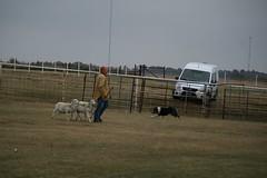 Herding trial nov. 15-16,2014