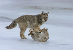 Coyotes On Ice - Larger One Showing Dominance