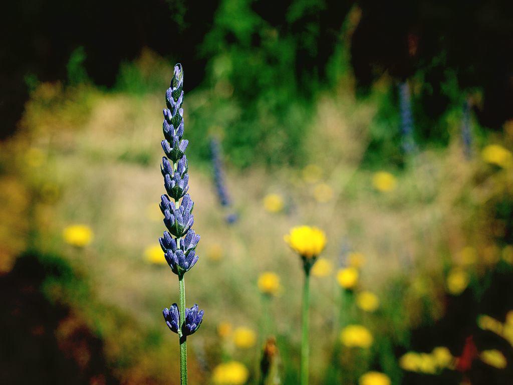 Lavendel in unserem Garten
