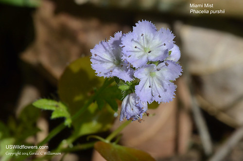 Miami Mist, Purple Scorpionweed - Phacelia purshii