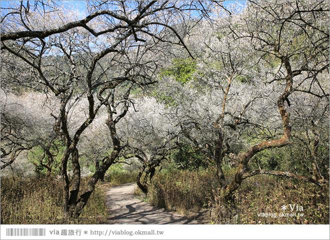 【柳家梅園】大人氣的賞梅景點!牛稠坑「柳家梅園」新私房賞梅步道10