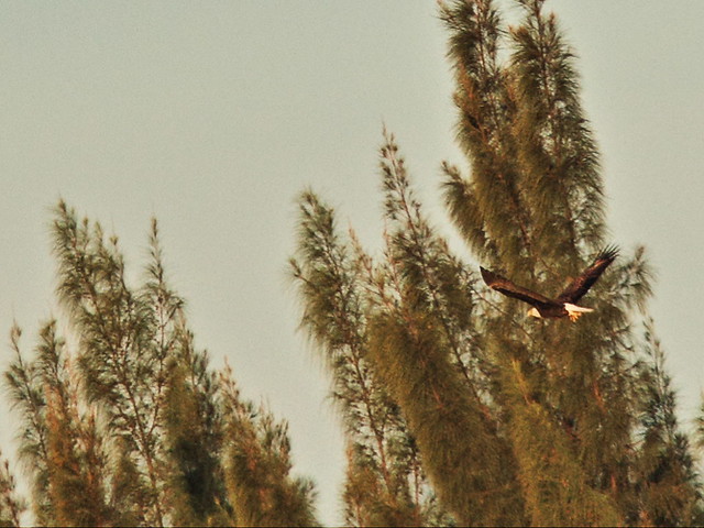 Bald Eagle adult leg down 072259 AM 20141210