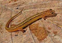 animal, reptile, lissotriton, fauna, salamandridae, scaled reptile,