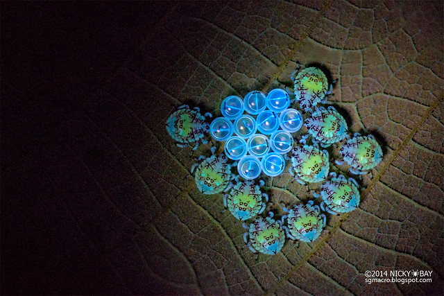 Stink bug hatchlings (Pentatomidae) - DSC_0564