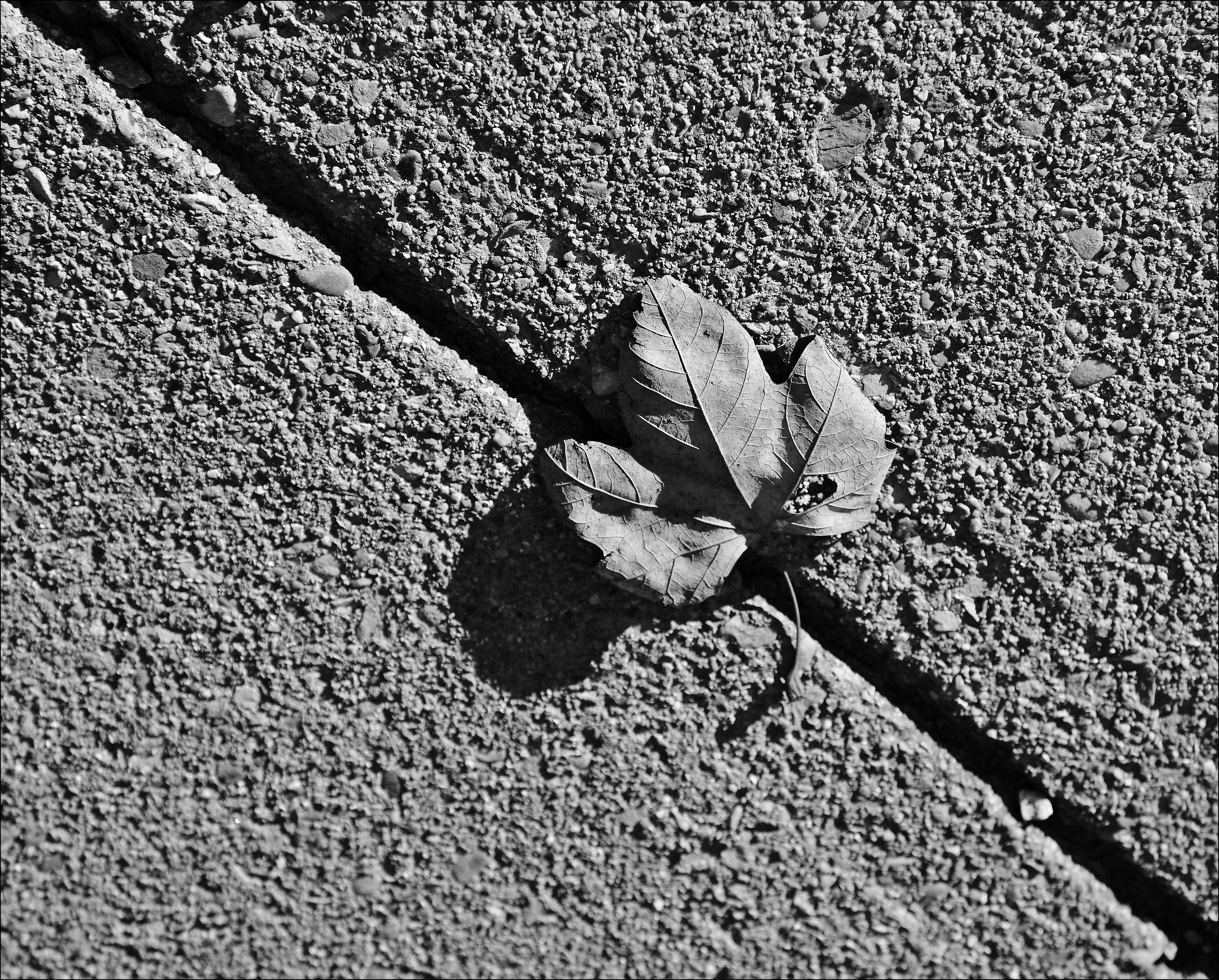 B&W Challenge: #3. bw, canon, leaf, challenge, 6d. buy photo