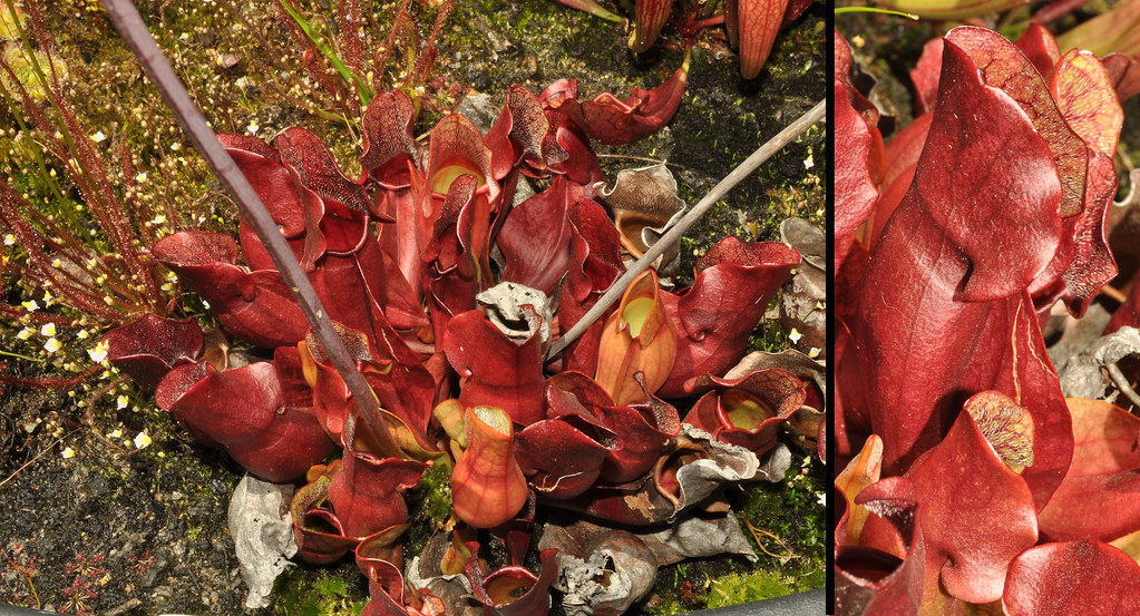 Sarracenia purpurea ssp. purpurea all red clone