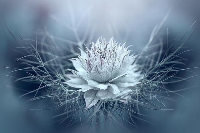 Jacky Parker Floral Art - Nigella